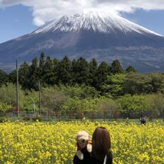 富士山/菜の花畑/トイプードル部/トイプードルアプリコット/トイプードル 今日は菜の花畑🌼と富士山🗻の見れる『白糸…(5枚目)