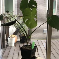 葉割れ/新芽/観葉植物のある暮らし/観葉植物/モンステラ やっと新芽🌱が開きました👐🏻  葉割れも…(1枚目)