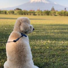 トイプードル部/トイプードル/トイプードルアプリコット/富士山/散歩/公園 仕事後にいつも公園にCOAちゃん🐩と散歩…(2枚目)