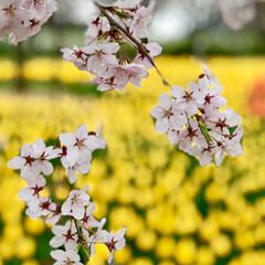 お花畑/桜/チューリップ/安曇野/アルプス安曇野公園/おでかけワンショット 長野安曇野のアルプス安曇野公園では桜とチ…(2枚目)
