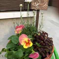 秋の寄せ植え/ガーデニング/暮らし ダーク系の葉物を入れると何とかなる気がし…