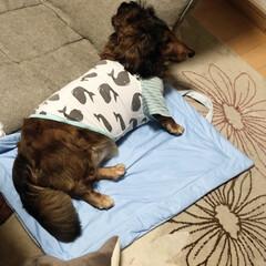 ダックスの居る暮らし/ワンコ大好き 1枚目はまさに飼い犬、無防備… 2枚目は…(2枚目)