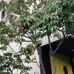 シンボルツリー/玄関 我が家の玄関前のシンボルツリー、ヤマボウ…
