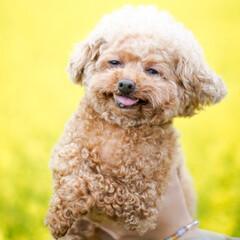 愛犬/プードル/トイプードル/菜の花/菜の花畑/花畑/... 菜の花と愛犬を撮影しました。1日に300…
