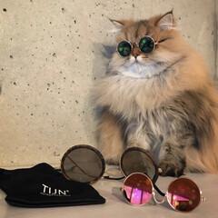 サングラス/令和の一枚/LIMIAペット同好会/にゃんこ同好会/ファッション 猫ちゃん用サングラスかけて キミャッてる…