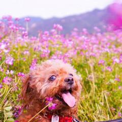 れんげ/トイプードル/ピンク/田舎/トイプー/犬/... 滋賀の大津、とある畑にて。 れんげ畑は肥…
