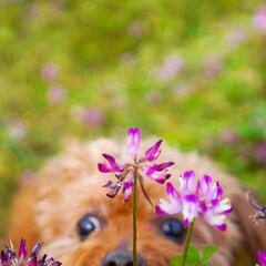 れんげ/私も写して/トイプードル/トイプー/田舎/ピンク/... れんげを撮ろうと思ったら、、私も写して、…