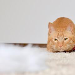 猫/ねこ/cat/動物/アニマル/ペット/... うちの子の大好きな猫じゃらしを狙っていま…