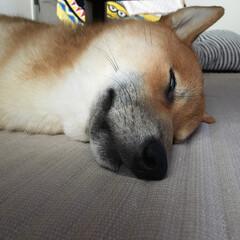 柴犬/お昼寝/爆睡/半目/ちょっと怖い/うちの子ベストショット
