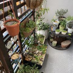 ガーデニング/花のある暮らし/ガーデン雑貨/ガーデニング雑貨/LIMIAガーデニング部/うちのガーデニング ベランダのリフォームをきっかけに多肉植物…(5枚目)
