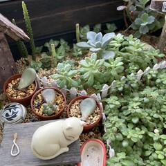 ベランダ/多肉植物 沖縄県は梅雨入りしました😅セダム❣️可愛…(1枚目)