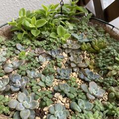 ベランダ/多肉植物 沖縄県は梅雨入りしました😅セダム❣️可愛…(4枚目)