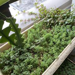 ベランダ/多肉植物 沖縄県は梅雨入りしました😅セダム❣️可愛…(5枚目)