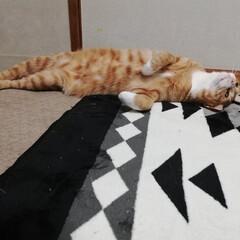 猫/寝姿/うちの子ベストショット 猫にしては姿勢がいい寝姿でしょ?