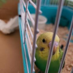 インコ/鳥/かわいい/カメラ目線/セキセイインコ/うちの子ベストショット 家で飼っているセキセイインコのピピちゃん…