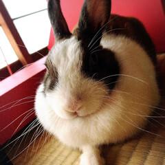 うさぎ/ミニウサギ/もふもふ/うちの子ベストショット 撮るときはちゃんと撮らせてくれる。いい子