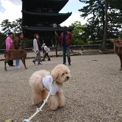おでかけワンショット/トイプードル/犬とおでかけ/興福寺/奈良県/鹿 奈良の興福寺で鹿さんと! ちょっと緊張気…