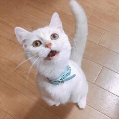 インスタ猫/マンチカン女の子/マンチカン/LIMIAペット同好会/にゃんこ同好会