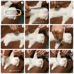 子猫/仔猫/こねこ/マンチカン/短足マンチカン/くつしたねこ/... 動画をコマ割にしてみました♥️ PECO…