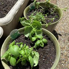 ハーブ/夏野菜/小さな庭/家庭菜園 家庭菜園🌱  ようやく小さな庭を片付ける…