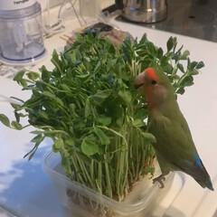 豆苗大好き/コザクラインコ 豆苗に紛れて食す翠ちゃん🦜
