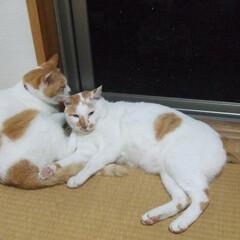 猫派/うちの子ベストショット/マツコ&しらす マツコのシッポをつかむしらす。