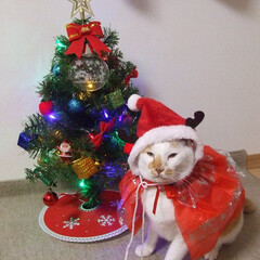 しらす/にゃんこ同好会/クリスマス2019 クリスマス楽しみニャ(≧▽≦)
