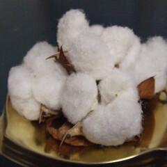 なつかしい 綿を育てるのにハマった時期があった。 ネ…