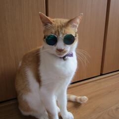 ざぶとん星星/にゃんこ同好会/ダイソー/ペット用メガネ/サングラス/カッコいい兄さん/... ダイソーで買ったペット用サングラス。 1…