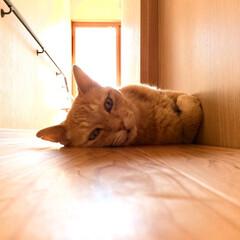 うちの子ベストショット/夏/茶トラ/涼/寝る/かわいい 暑い日の涼のとりかた🎐🍧ヒンヤリ床に寝る…