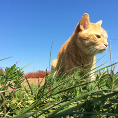 ブルー/茶トラ/青空/爽快 青空の下で草を食む!ひと味違う感じがする…