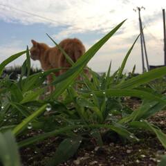 雨季ウキフォト投稿キャンペーン/うちの子ベストショット/猫/草/朝露 雨ばかりで嫌だけど、草がイキイキ美味しそ…