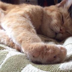 うちの子ベストショット/睡眠/茶トラ/肉球/寝顔 眠くて眠くてしょうがない(( _ _ )…