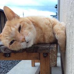 猫派/茶トラ/早朝/ベンチ 絶対ネコ!!!ネコはかわいい。