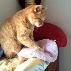 うちの子ベストショット/茶トラ/仕草/かわいい/枕 こねこねこねこね…。おいしいパンを作るニ…