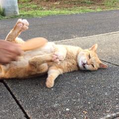 猫派/ブラッシング/茶トラ/日課 肉球も開く気持ち良さ〜(^O^)