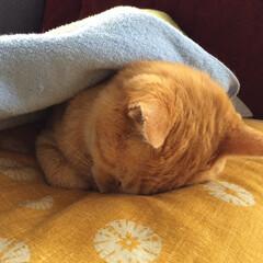うちの子ベストショット/ごめん寝/かわいい/猫 グーグー、どんな夢みてるのかな?
