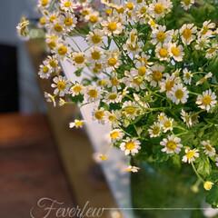 雑貨好き/キッチンカウンター/マトリカリア/花を飾る/令和元年フォト投稿キャンペーン/はじめてフォト投稿/... マトリカリアの花が好きです。 大きな器い…