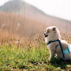 ポメラニアン/フィルム/小型犬/35mmフィルム/ニコンf6/ファーファ/... 暑いのが大の苦手なので実家の近くの山の上…