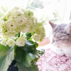 花と猫/美猫/グリーン/八重咲き/カランコエ/わたしのお気に入り こんな色あるの!!と一目惚れ😍 そして、…