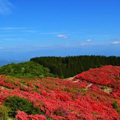 葛城山/つつじ/おでかけワンショット 葛城山つつじ園 青空と赤いつつじ、緑の山…
