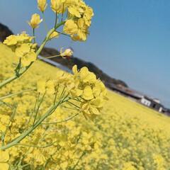 風景/はじめてフォト投稿 菜の花畑🌼