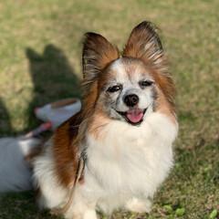 犬/パピヨン/散歩/小型犬/うちの子自慢 お散歩から帰ってきて満足げな一枚です