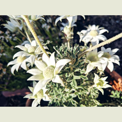 高校生/令和/家/home/like/White/... どんどんと咲き始めてきて 癒される😊