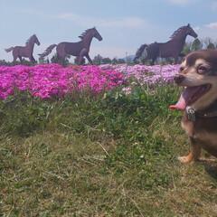 犬 愛犬/花畑/チワックス/ペット/はじめてフォト投稿 愛犬のお散歩で 芝桜とパシャリ! 天気も…