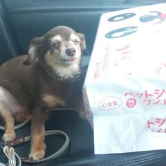 愛犬とドライブ/おでかけワンショット 自分のおしっこシートのでかさに圧巻される…