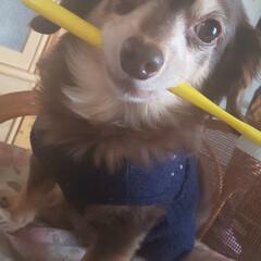 ペット/愛犬/イタズラ/うちの子自慢 私の歯ブラシ!(笑)