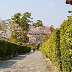 桜/松阪市/御城番屋敷/私の街/城址/三重のいいところ/... 三重県 松阪市のお城跡の桜です。 この春…