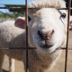 羊/東京ドイツ村/動物/はじめてフォト投稿 東京ドイツ村で可愛らしい子羊と出会いまし…