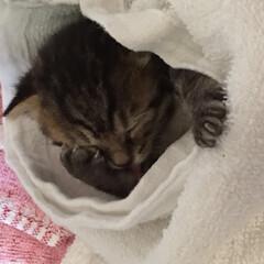 子猫/うちの子自慢/寝起き/みーしゃん/メス 眩しくて手で押さえてるところすごく可愛い…
